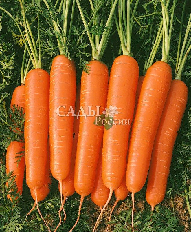 Морковь Престо F1Морковь-Чудо<br>Отличается очень высокими товарными качествами и сбалансированным гармоничным вкусом. Корнеплоды цилиндрические с тупым кончиком (сортотип<br>Нантская), красивые.<br>