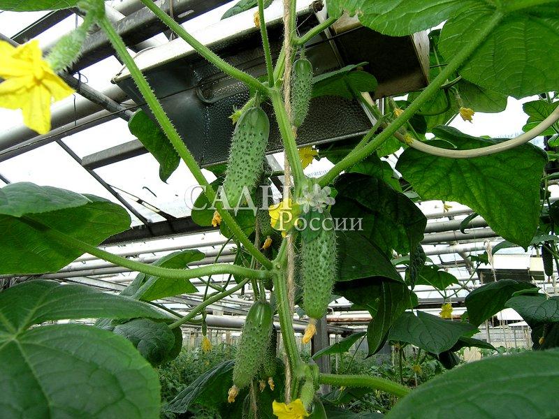 Огурцы Одетте F1Огурцы-Чудо<br>Для выращивания в защищённом грунте. <br><br>Гармония формы и вкуса. Среднеспелый партенокарпический<br>гибрид для выращивания в весенних плёночных необогреваемых<br>теплицах.<br>