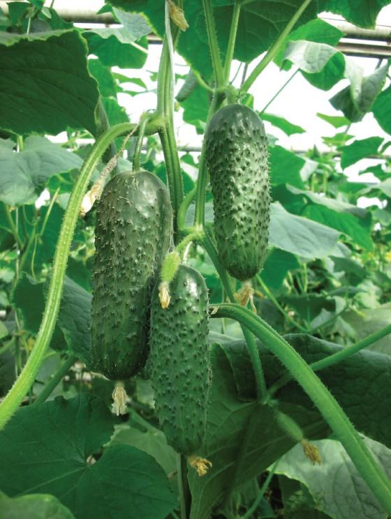 Огурцы Ритм F1Огурцы-Чудо<br>Для выращивания в защищённом грунте.<br><br>Надёжный раннеспелый партенокарпический гибрид. Урожайность и<br>товарные качества очень высокие.<br>