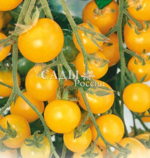 Помидоры Ликёр F1Помидоры-Чудо для знатоков (для открытого грунта и временных укрытий)<br>Манящий и зовущий сорт-лакомка из серии коктейльных томатов.<br>Прозрачно-медовые, размером с крупный крыжовник (25 г) плоды едва<br>успеют созреть, как попадают в рот прямо с куста.<br>