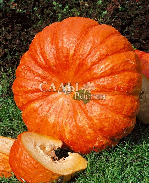 Тыква Руж ВифТыква<br>Среднеспелый, достаточно пластичный сорт, выносливый к капризам<br>погоды. Плоды плоскоокруглые, сегментированные, шероховатые, тёмно-оранжевой окраски, массой 4—9 кг.<br>