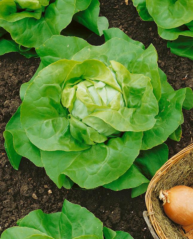 Салат Аттракцион F1Пряновкусовые травы<br>Совершенно самодостаточный среднеспелый кочанный салат. Кочан<br>округлый, закрытый, рыхлый, прячется в крупной розетке треугольных<br>желтовато-зелёных листьев (высота и диаметр 30—35 см).<br>