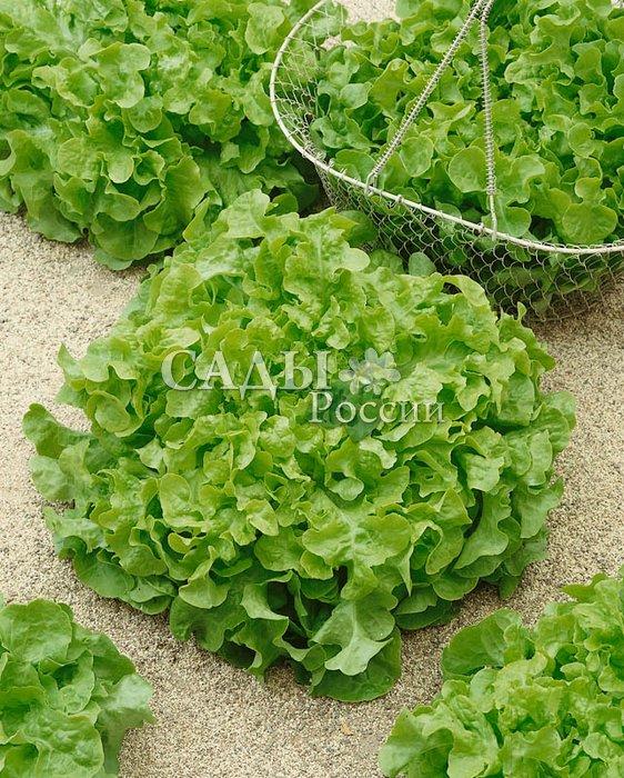Салат Изумрудный F1Пряновкусовые травы<br>Красивый и нежный среднеспелый листовой салат. До начала технической спелости 50—60 дней после полных всходов.<br>
