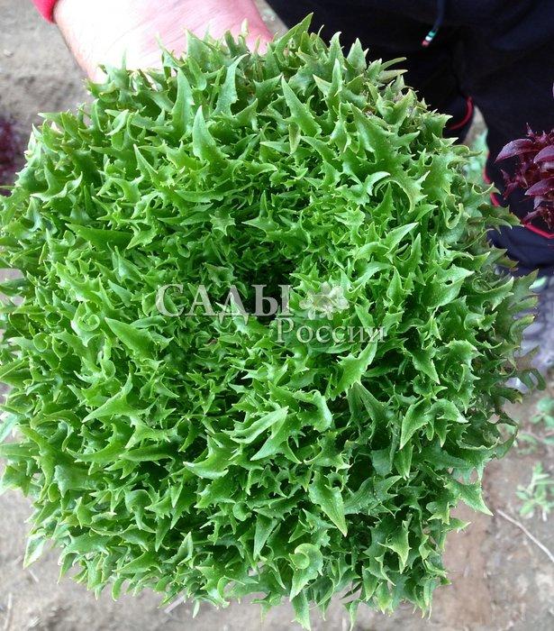 Салат Фрилл Грин 2 F1Пряновкусовые травы<br>Лёгкий и полезный листовой салат всегда как нельзя кстати, даже<br>если он и припозднился по срокам созревания.<br>