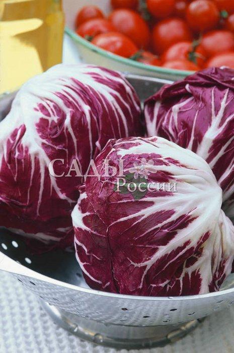 Салат Индиго F1 цикорныйПряновкусовые травы<br>Очень аппетитный цикорный салат, сочный, с приятным горьковатым<br>вкусом, полезный. Подходит к уборке в среднеранние сроки.<br>