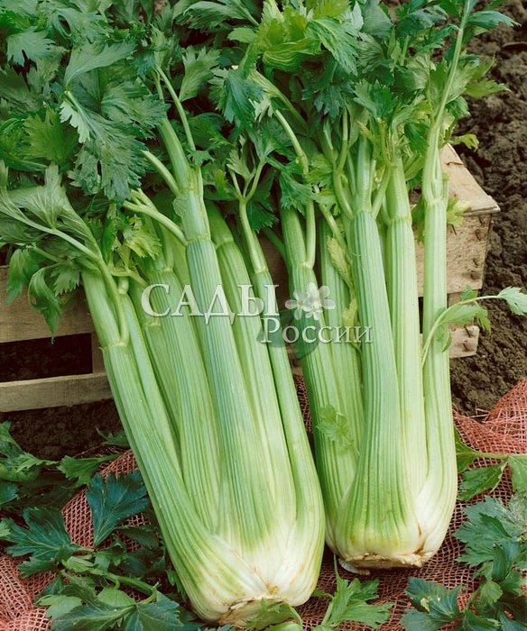 Сельдерей Паскаль черешковыйПряновкусовые травы<br>Красивый и нежный среднеспелый листовой салат. До начала технической спелости 50—60 дней после полных всходов.<br>