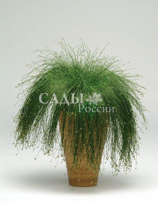 Изолепис МарионеткаЗлаки<br>Оригинальная изящная осока, или камыш поникший, получившая за<br>свою внешность необычное название «оптико-волокнистая трава».<br>