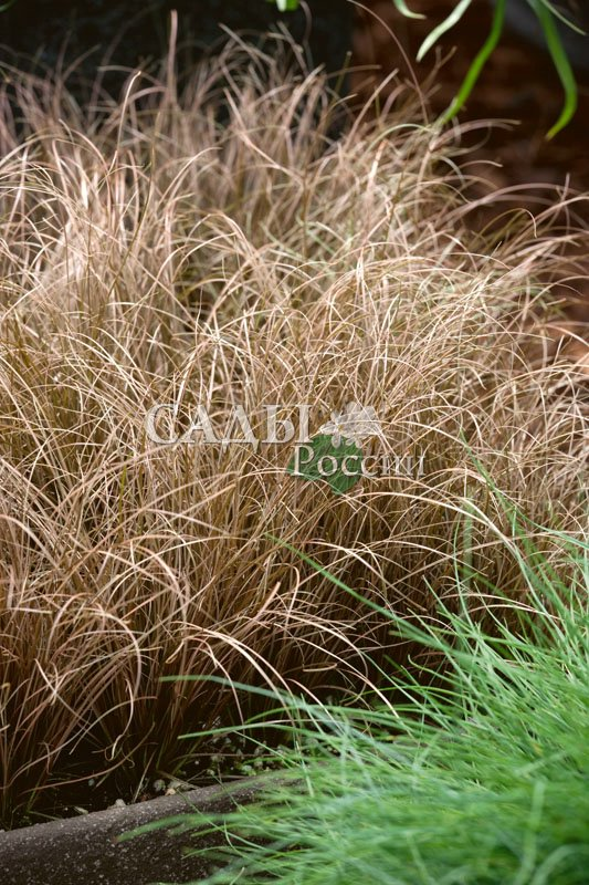 Осока МустангЗлаки<br>Буланой, желтовато-песочной, или светло-гнедой масти. Куст пышный,<br>поникающий с жёсткими и тонкими бронзовыми листьями, которые<br>ни в коем случае не срезают.<br>