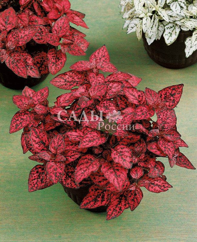 Гипоэстес Брызги КрасныйКомнатные растения<br><br>