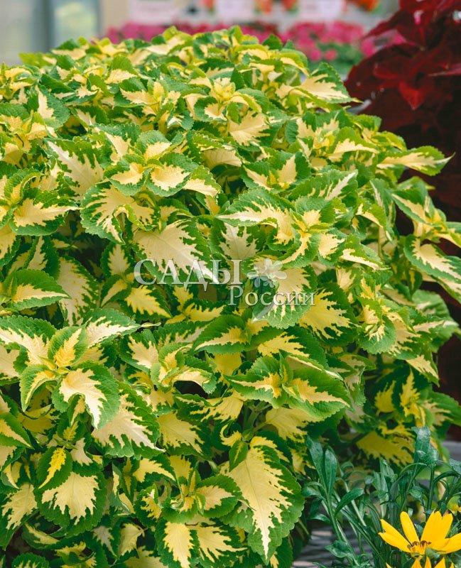 Колеус Волшебник НефритКомнатные растения<br><br>