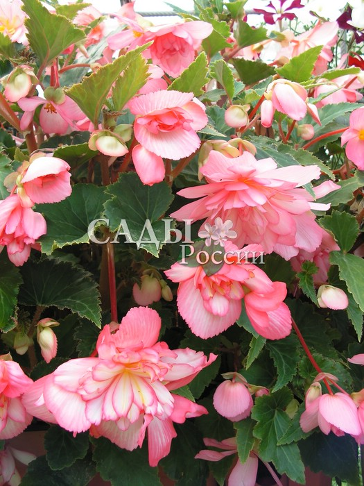 Бегония Шансон Двуцветная розово-белая ампельнаяОднолетники<br>Чистота и нежность.<br>