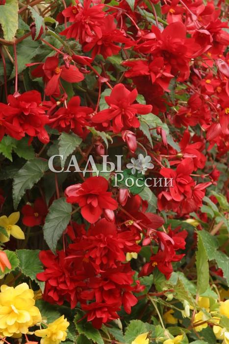 Бегония Шансон Тёмно-красная ампельнаяОднолетники<br>Цвет спелой вишни, густой и насыщенный.<br>
