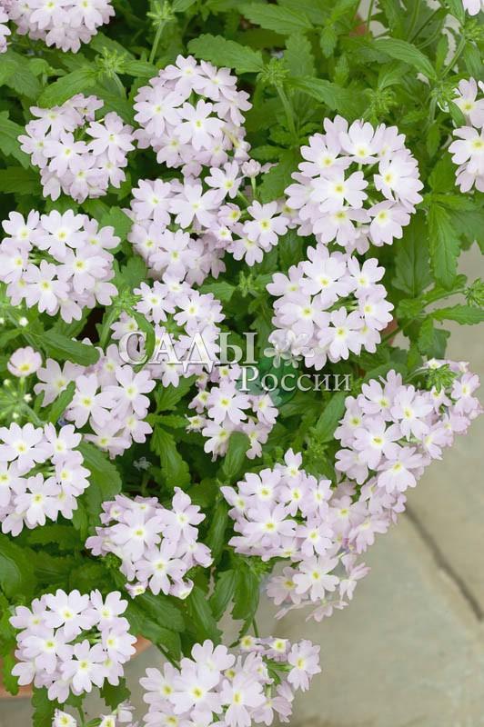 Вербена Кварц серебрянаяОднолетники<br>Несравненная, юная, нежная. Цветки очень лёгких, перламутрово-розовых оттенков с белым колечком вокруг светлого оливкового центра.<br>