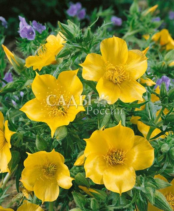 Ментцелия ЛиндлеяОднолетники<br>Солнечное сияние. Прелестное, насколько красивое, настолько же и<br>редкое в наших садах однолетнее растение, обитающее в Латинской<br>и Южной Америке.<br>