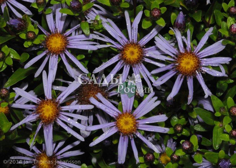 Астра Маака многолетняяСокровищница Дальнего Востока<br>Очень миловидное и довольно редкое растение, обитающее на Дальнем Востоке.<br>