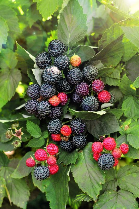 Малина КумберлендМалина черноплодная<br>Мулатка,<br>просто красавица, как же она хороша!<br> Единственный в своём роде сорт черноплодной малины, достойный самых высоких похвал.<br>