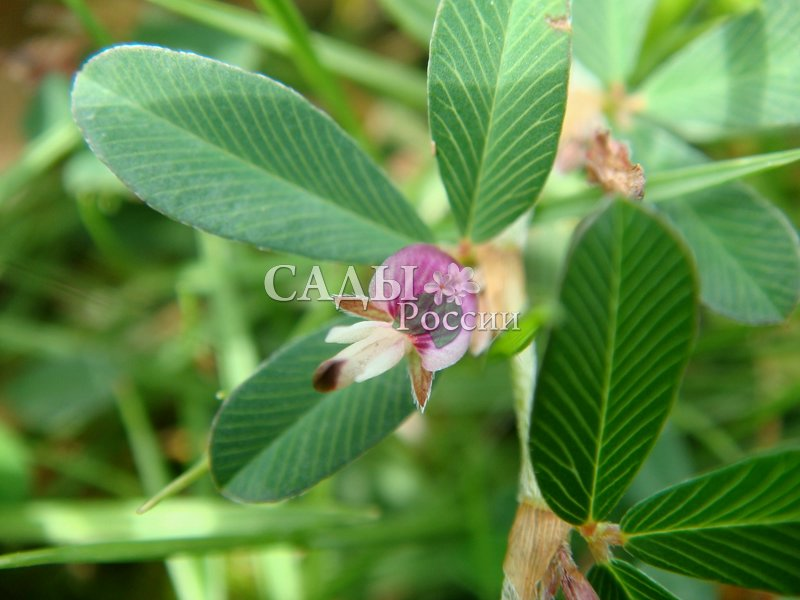 Куммеровия ПолосатаяСокровищница Дальнего Востока<br>Японский клевер. Цветёт в июле-августе. Высота 5-25 см.<br>