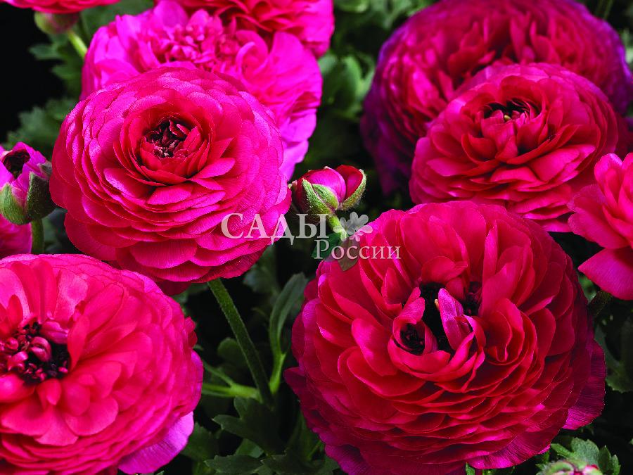 Лютик Маше РозовыйОднолетники<br>Влюблённая принцесса.<br>