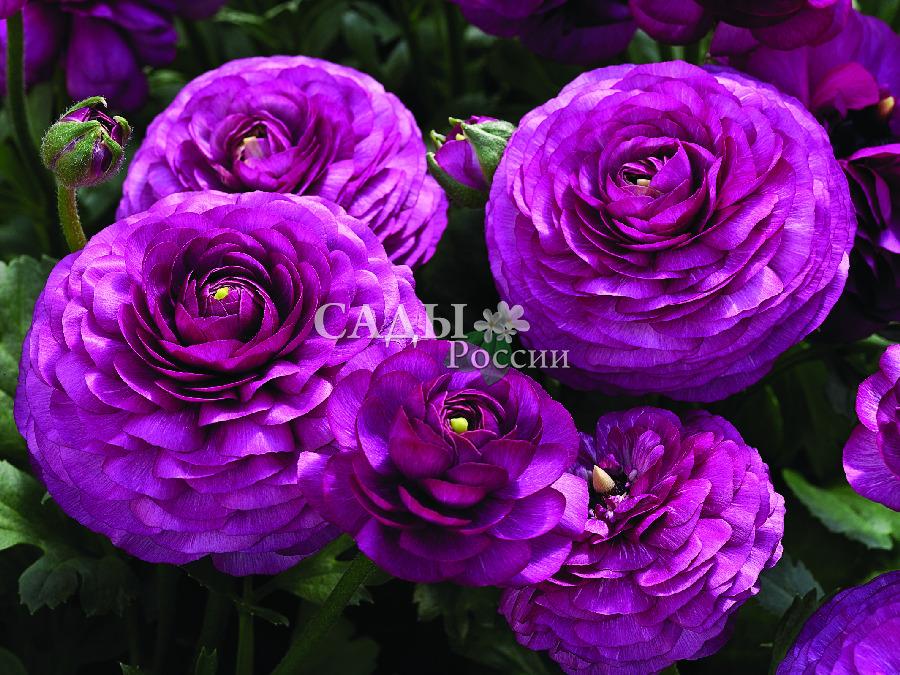 Лютик Маше ФиолетовыйОднолетники<br>Царевна Несмеяна, лирическая и возвышенная.<br>