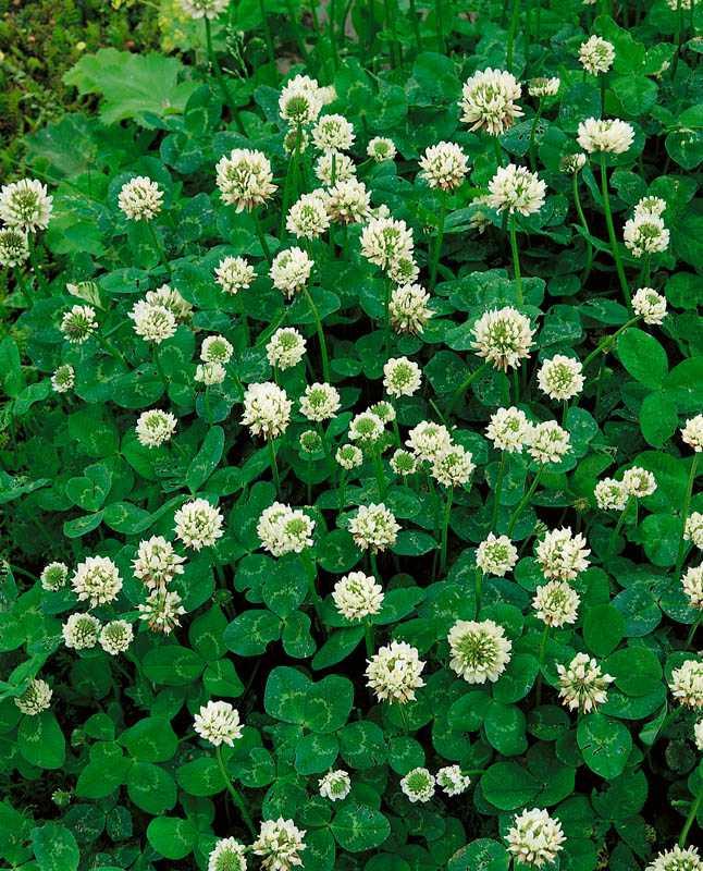 Клевер БелыйГазонные травы<br>Клевер белый или клевер ползучий, — настоящий чародей-волшебник.<br>