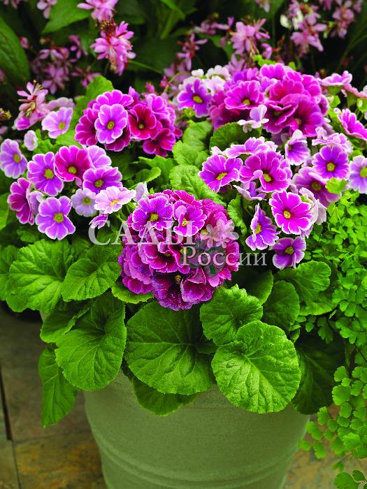 Примула Либре Пикоти РозоваяКомнатные растения VIP<br>Сплошное очарование, цветки изумительных аметистовых оттенков с белоснежной каймой по краю лепестков и зеленоватым глазком в центре.<br>