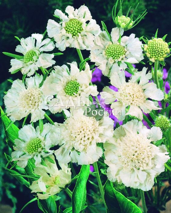 Скабиоза БелаяОднолетники<br>Кружевная симфония волнующихся белоснежных воздушно-лёгких соцветий.<br>