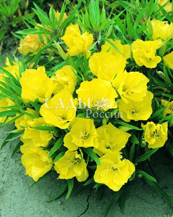Энотера Жёлтая миссурийскаяОднолетники<br>Нежная, тёплая с золотистыми лепестками из тонкого шёлка.<br>