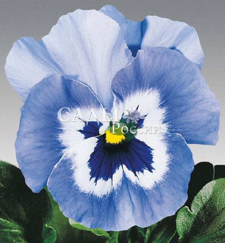 Виола Джокер нежно-голубойДвулетники<br>НОВИНКА!  <br><br> <br> <br> <br><br><br>«Колдовское озеро, голубой магнит».<br>