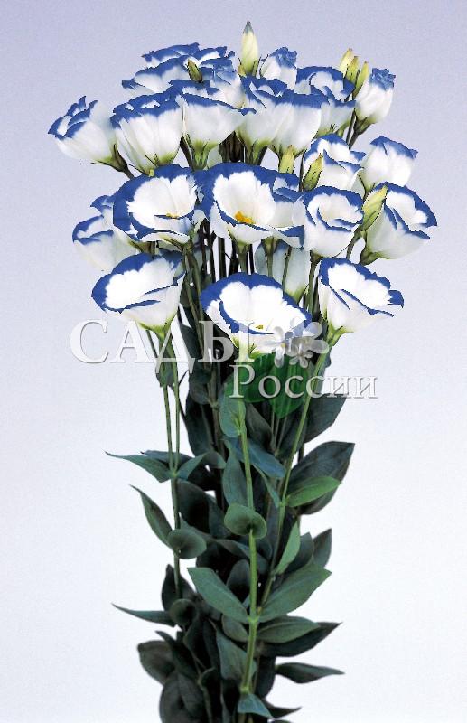 Лизиантус Пикколо Голубой ободокКомнатные растения<br>НОВИНКА!  <br> <br>Голубая кайма.<br>