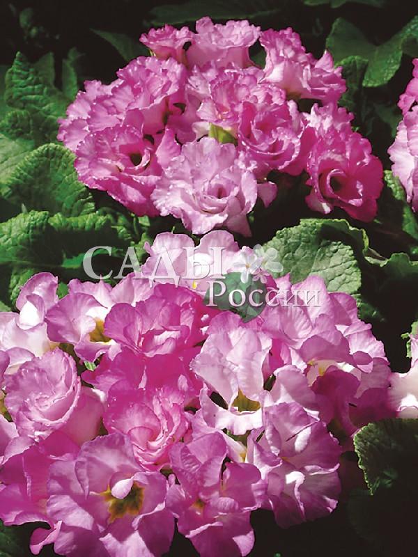 Примула Розанна РозоваяКомнатные растения VIP<br><br>