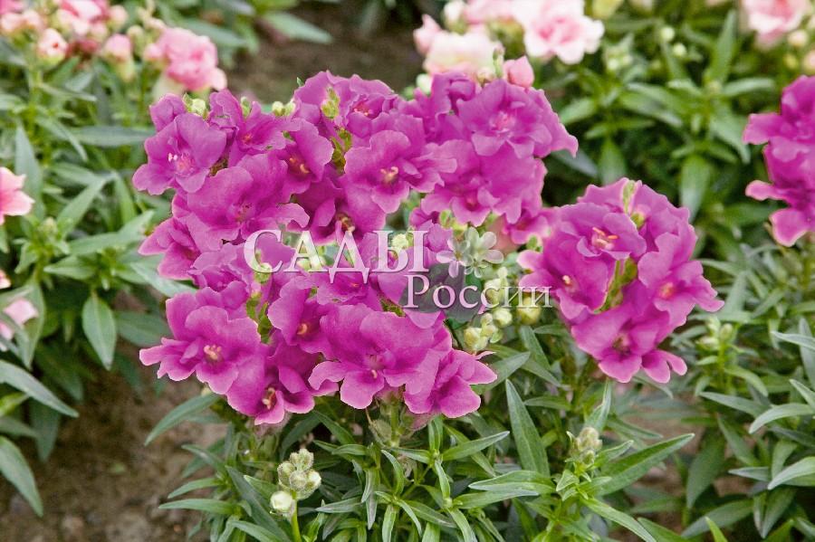 Львиный зев Близнецы фиолетовыйОднолетники<br>НОВИНКА!  <br> <br>Восхитительная серия первых сортов с махровыми цветками.<br>