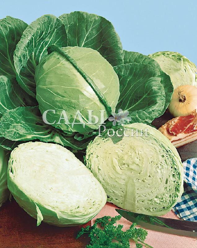 Капуста Зенон F1 белокочаннаяКапуста белокочанная поздняя<br>НОВИНКА!  <br> <br> <br> <br>Позднеспелый гибрид-отличник, высокоурожайный, надёжный в хранении, превосходный по<br>однородности и выровненности.<br>