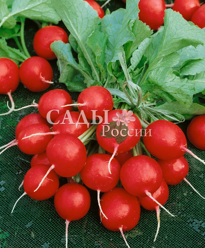 Редис Валери F1Редис<br>НОВИНКА!     <br><br>Очень быстрорастущий высокоурожайный гибрид.<br>