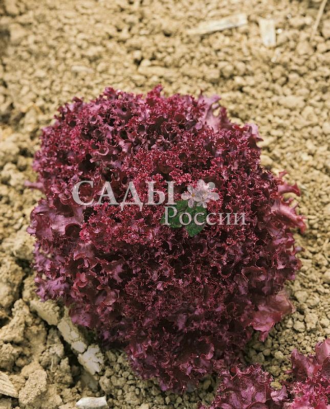 Салат Бакус F1Пряновкусовые травы<br>НОВИНКА!  <br><br>Восхитительный салат-вкуснятина.<br>