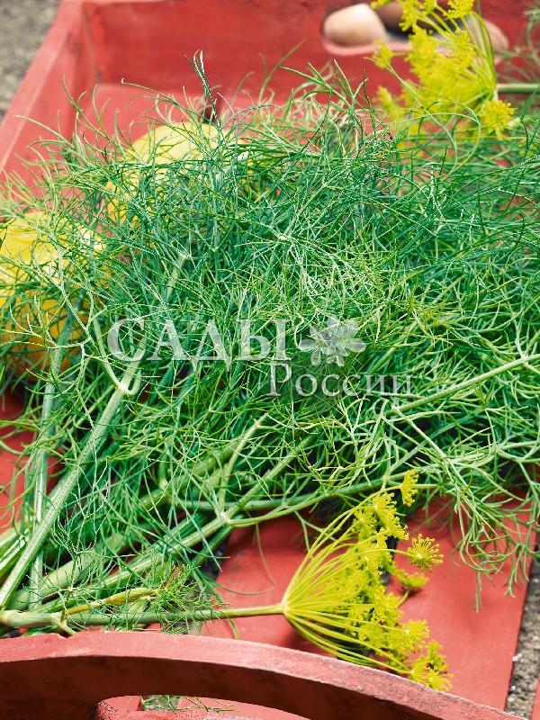 Укроп Дилл F1Пряновкусовые травы<br>НОВИНКА!  <br><br>Надёжный и верный сорт, один из самых<br>распространённых на огородных грядках.<br>