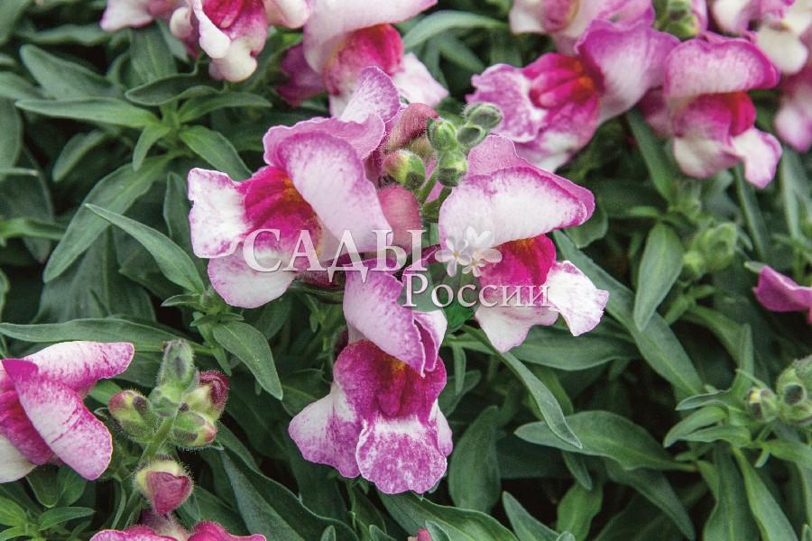 Львиный зев Снэппи ОрхидеяОднолетники<br>НОВИНКА!  <br> <br>Обжигающее пламя орхидеи.<br>