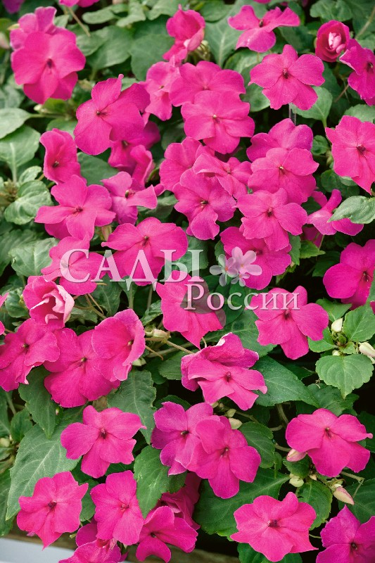 Бальзамин Акробат РозовыйОднолетники VIP<br>НОВИНКА!  <br> <br> <br>Первый ампельный бальзамин из семян.<br>