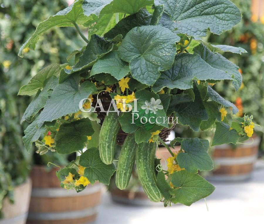 Огурцы Петипикель F1Домашний огород<br>НОВИНКА!  <br><br> <br>Очень компактное растение, отлично подходит для<br>выращивания на балконе или лоджии.<br>