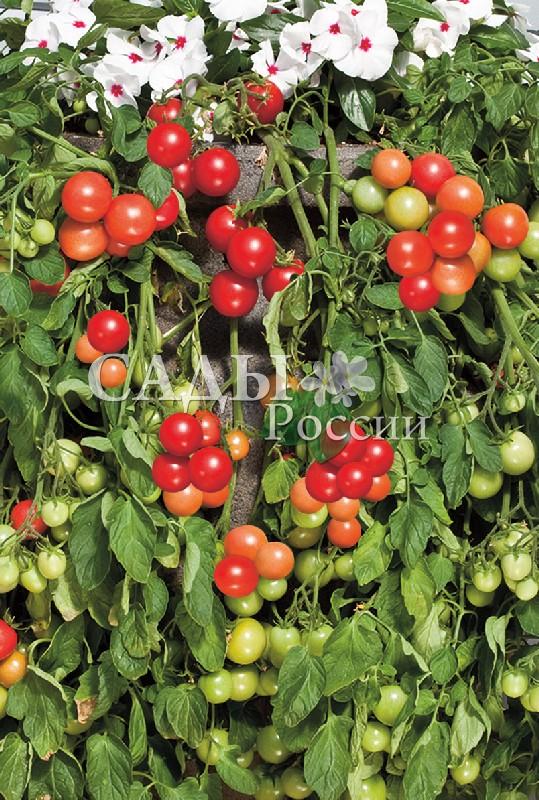 Помидоры Вишнёвый фонтан F1Домашний огород<br>НОВИНКА!  <br><br> <br>Вишнёвый сад на Вашем балконе.<br>Только вместо косточковой культуры –<br>бесподобные помидоры, гроздями свисающие на зелёных побегах.<br>