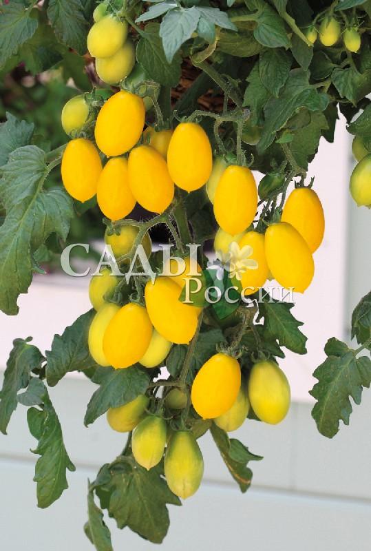 Помидоры Грушенька F1Домашний огород<br>НОВИНКА!  <br><br> <br>Детерминантный гибрид получил название по старорусскому имени Грушенька, но основную роль сыграла,<br>прежде всего, форма плода.<br>