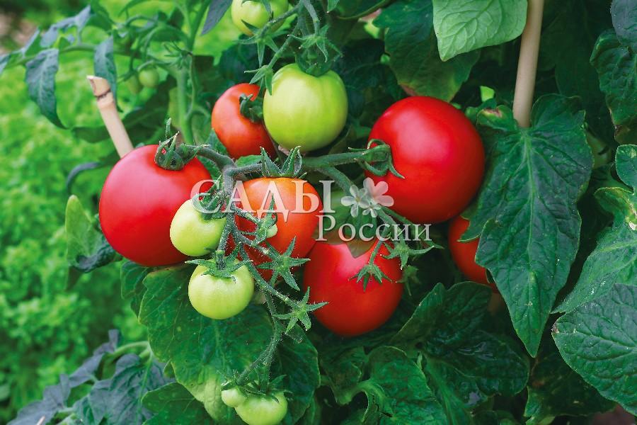 Помидоры Мега Байт F1Домашний огород<br>НОВИНКА!  <br><br>Уникальный урожайный детерминантный гибрид.<br>