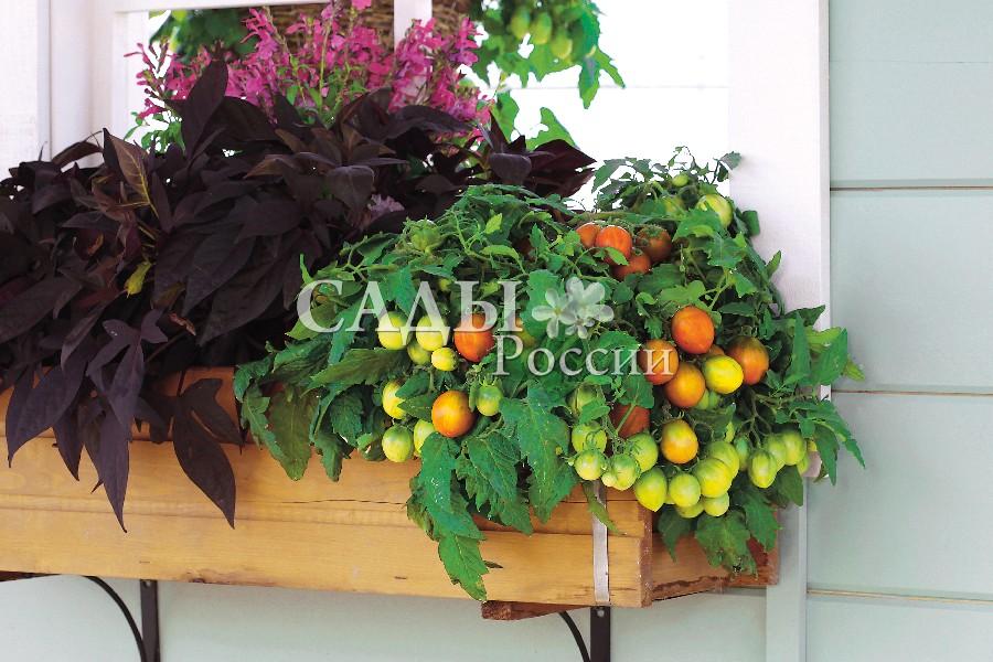 Помидоры Непоседа Тайгресс F1Домашний огород<br>НОВИНКА!  <br><br>Оригинальный и очень декоративный<br>детерминантный гибрид. Достойная<br>замена цветущим растениям на Вашем<br>балконе.<br>