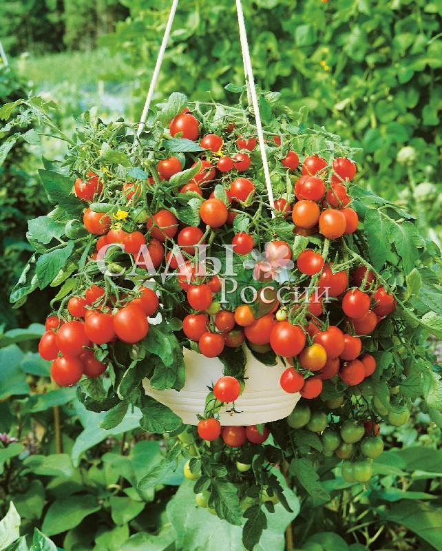 Помидоры Непоседа Том красный F1Домашний огород<br>НОВИНКА!  <br><br>Очень вкусный и урожайный детерминантный гибрид.<br>