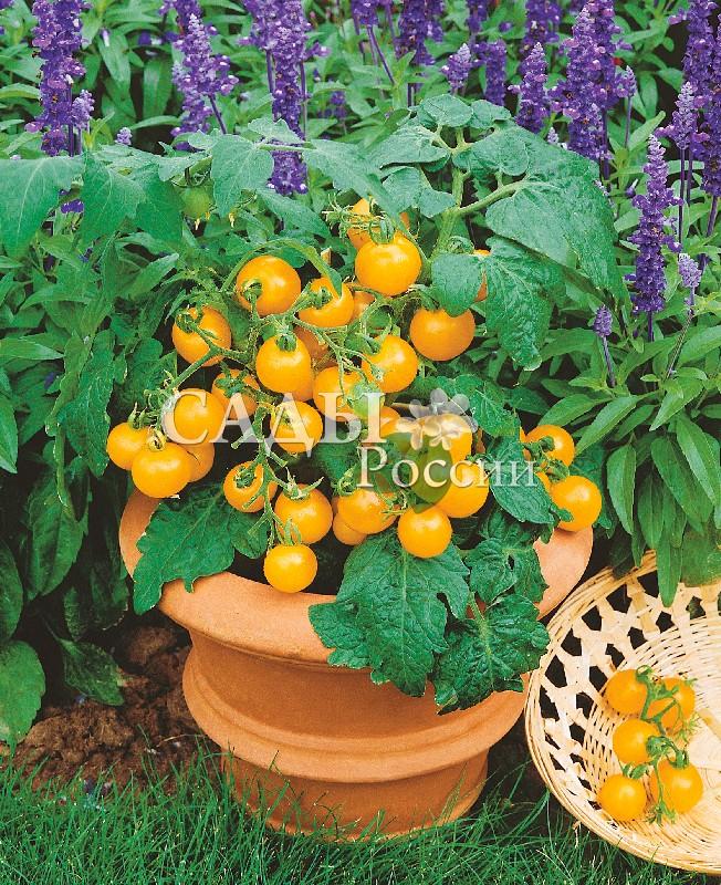 Помидоры Солнышко F1Домашний огород<br>НОВИНКА!  <br><br>Солнце на ладони – так можно сказать<br>про этот детерминантный гибрид, когда<br>срываешь жёлтые поспевшие плоды.<br>