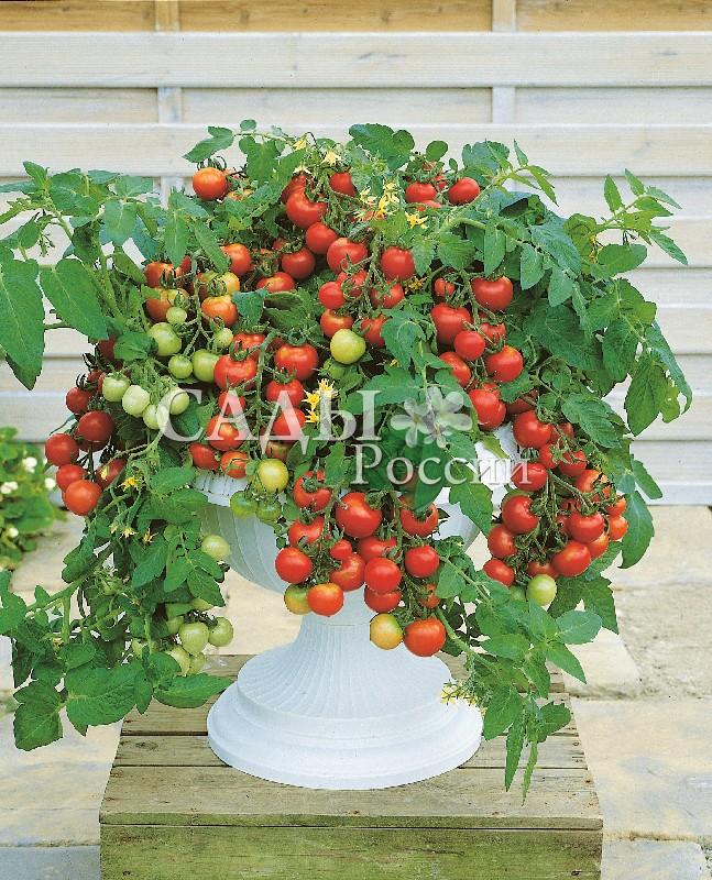 Помидоры Тотем F1Домашний огород<br>НОВИНКА!  <br><br>Детерминантный гибрид. Яркие<br>красные грозди этих вкусных плодов – настоящий подарок любителям<br>балконного земледелия.<br>