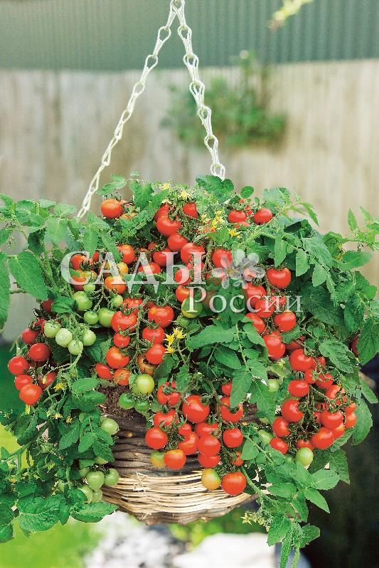 Помидоры Пиноккио F1Домашний огород<br>НОВИНКА!  <br><br> <br>Детерминантный, раннеспелый, штамбовый, компактный, всего 20-35 см высотой, очень декоративный<br>сорт с яркими красными гладкими плодами.<br>