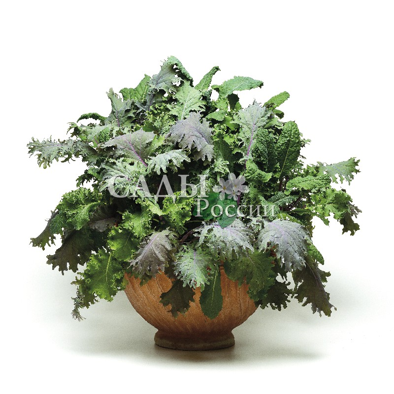 Салат Ураган смесь F1Домашний огород<br>НОВИНКА!  <br><br>Любителям здорового питания хорошо иметь под рукой свежие листовые салаты.<br>