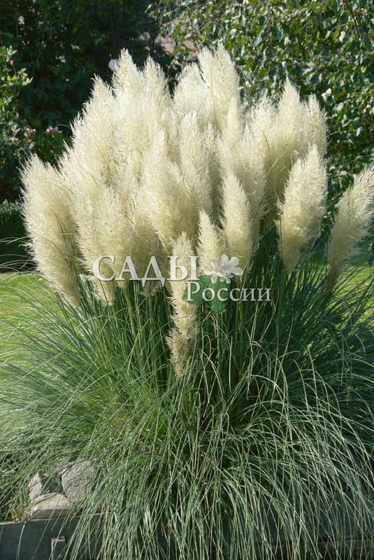Пампасная трава Плюм БелаяЗлаки<br>С белыми метёлками, во время цветения напоминает снежные вихри в зимнюю вьюгу.<br>