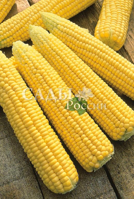 Кукуруза Яркий Жан F1Кукуруза<br>НОВИНКА!  <br><br>«Кто кукурузу сеет, тот и богатеет», – говорили<br>на Руси. А ведь для этого сначала надо посадить<br>высокоурожайный гибрид.<br>