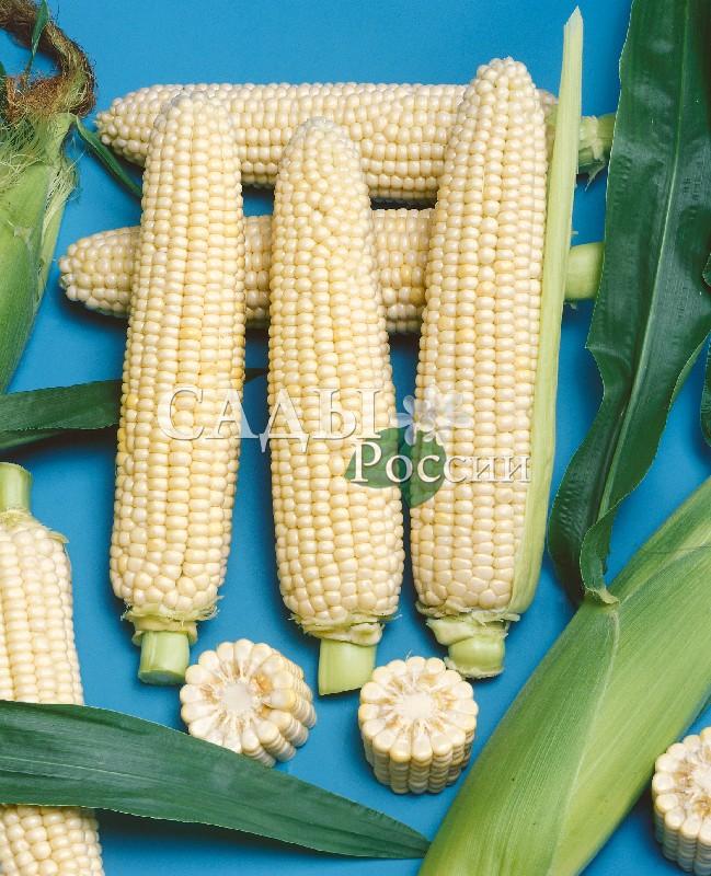 Кукуруза Снежанна F1Кукуруза<br>НОВИНКА!  <br><br><br>Белая маршмеллоу, собранная в початок – так можно<br>сказать про этот гибрид.<br>